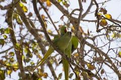 绿色鹦鹉自然 库存图片