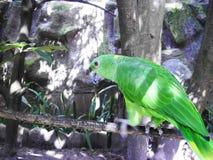 绿色鹦鹉Psittacara holochlorus 免版税库存图片