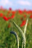 绿色麦子关闭 免版税库存图片