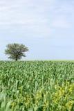 绿色麦子和一棵树 免版税库存图片