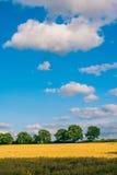 黄色麦子在背景中归档了与绿色树 在白色在上面蓝天覆盖的天际的绿色树 免版税库存图片