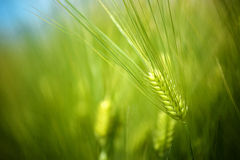 年轻绿色麦子播种生长在耕种的种植园的领域 库存图片