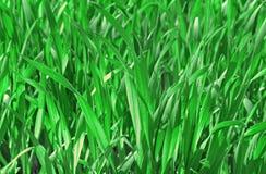 绿色麦子新芽  免版税库存照片