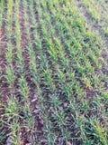 年轻绿色麦子的领域在春天的 免版税图库摄影