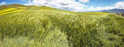 绿色麦子耳朵全景在花谷的  库存图片