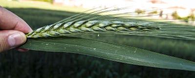 绿色麦子耳朵,在领域的耕种的麦子,麦子农业,未成熟的麦子,麦子风景图片 库存照片