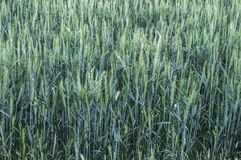 绿色麦子耳朵,在领域的耕种的麦子,麦子农业,未成熟的麦子,麦子风景图片 图库摄影