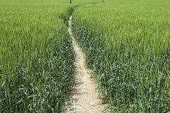 绿色麦子耳朵,在领域的耕种的麦子,麦子农业,未成熟的麦子,麦子风景图片 免版税库存照片