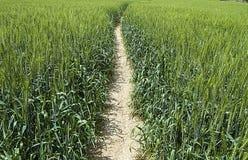 绿色麦子耳朵,在领域的耕种的麦子,麦子农业,未成熟的麦子,麦子风景图片 库存图片