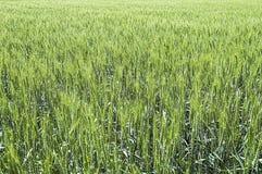 绿色麦子耳朵,在领域的耕种的麦子,麦子农业,未成熟的麦子,麦子风景图片 免版税图库摄影