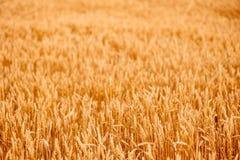黄色麦子耳朵 库存图片