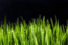 绿色麦子草新芽在黑背景的 库存图片