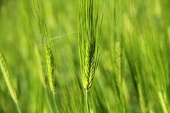 绿色麦子年轻人 库存图片