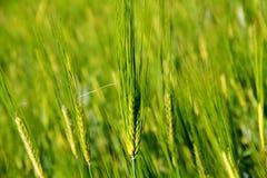 绿色麦子年轻人 图库摄影