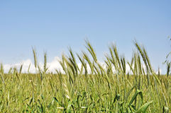 绿色麦子 图库摄影