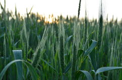 绿色麦子 库存图片