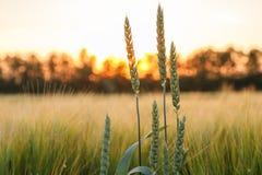 绿色麦子 免版税图库摄影