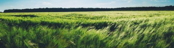 绿色麦田全景 免版税库存图片