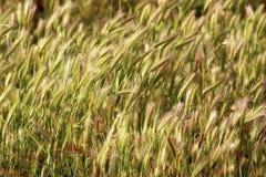 绿色麦田 免版税库存照片