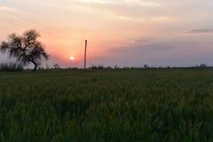 绿色麦田在有日落的印地安农场在背景 免版税图库摄影
