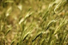 绿色麦田夏天风自然背景 图库摄影