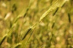 绿色麦田夏天风自然背景 库存图片