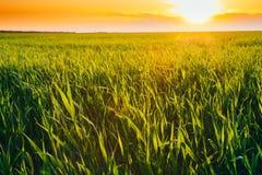绿色麦田风景在风景夏天剧烈的天空下 库存照片