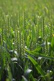 绿色麦田,与拷贝空间, v的抽象自然背景 免版税库存照片