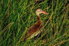 黑色鼓起了从行动的吹哨的鸭子休假在F 库存照片