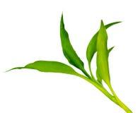 绿色龙血树属植物 免版税库存图片
