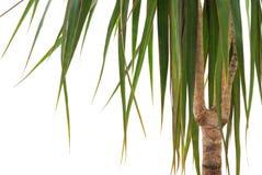 绿色龙血树属植物 免版税图库摄影