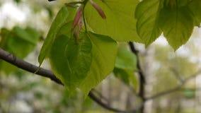 绿色,新鲜的叶子椴树菩提树椴树属自然本底森林在春天 静态照相机 1080个充分的HD录影 股票视频