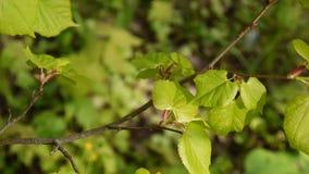 绿色,新鲜的叶子椴树菩提树椴树属自然本底森林在春天 静态照相机 1080个充分的HD录影 影视素材