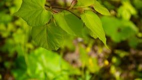 绿色,新鲜的叶子椴树菩提树椴树属自然本底森林在春天 静态照相机 1080个充分的HD录影 股票录像
