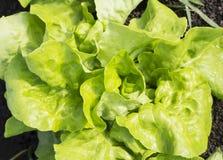 绿色,新鲜的莴苣(漂白亚麻纤维的山莴苣属) 库存图片