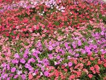 紫色,桃红色和红色彩虹花田 库存图片