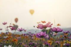 紫色,桃红色,波斯菊在有天空和气球的庭院里开花 免版税库存图片