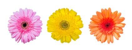 黄色,橙色和桃红色大丁草花,顶视图,在白色背景 免版税库存照片