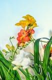 黄色,红色和白色小苍兰开花,窗口蓝色背景 图库摄影