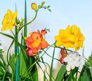 黄色,红色和白色小苍兰开花,窗口蓝色背景 免版税图库摄影