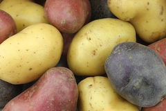 黄色,红色和紫色土豆 免版税库存照片