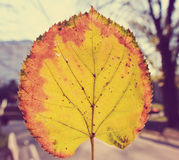 黄色,金黄由后面照的叶子;特写镜头;减速火箭 图库摄影
