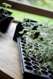 绿色,年轻幼木蕃茄 库存照片