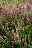 绿色,紫色和白色小的花,草背景 免版税库存图片