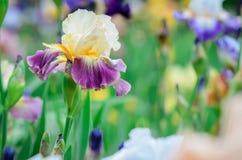 紫色,黄色和白花 免版税库存照片