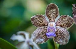 紫色,黄色和紫罗兰色多斑点的兰花 库存图片