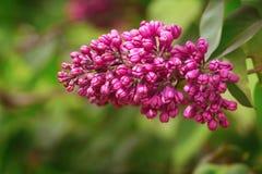 紫色紫丁香属植物 免版税库存图片