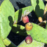 绿色仙人掌叶子用果子 库存照片