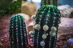 绿色仙人掌在植物托儿所北泰国 库存图片