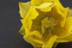 黄色仙人掌开花宏指令  免版税图库摄影